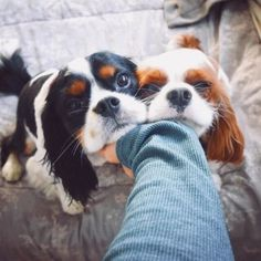 """Dear Labby: I Have Two Dogs Who Mostly Get Along But Sometimes Have Bad Fights - """"The boys are almost always fine and well-behaved together, but sometimes they fight. Cute Baby Dogs, Cute Dogs And Puppies, I Love Dogs, Doggies, Cavalier King Spaniel, Cavalier King Charles Dog, King Charles Puppy, Spaniel Puppies, Tier Fotos"""