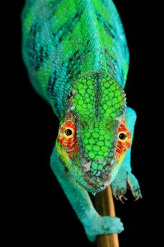 """""""Photo by Furcifer pardalis, (Panther chameleon), has a unique color morph endemic to the area around Ambanja/Madagascar. The male…"""" Madagascar, World Press Photo, Hipster Cat, Close Up Portraits, Dinosaur Toys, Unique Colors, Image Collection, Photo Contest, National Geographic"""