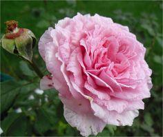Grow English Roses.