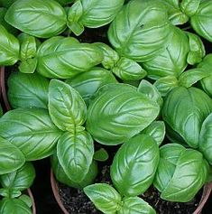 genovese basil. little, compact, tightly growing with a little more of a bite than traditional basil...
