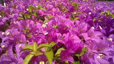 เฟื่องฟ้า (Bougainvillea glabra Choisy)