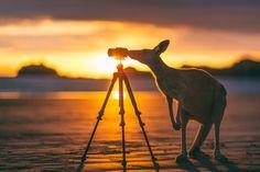 Cape Hillsborough, Australia — by Matt Glastonbury. Bridget the Kangaroo taking her photography to the next level at this morning's sunrise on Casuarina Beach