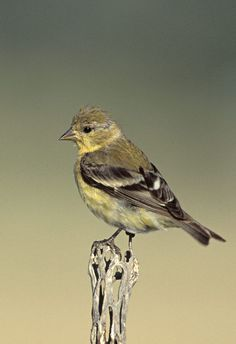 Lesser Goldfinch or Dark-backed Goldfinch (Carduelis psaltria) female