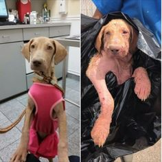 Less than two weeks ago, Alexa had a severe case of demodex mange; she was so sick it was unknown if she would live or die. The six-month-old puppy had been surrendered to a Texas shelter in a black garbage bag. Inside of the bag her skin bled; she had been carried to the rear …