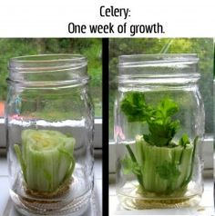 Celery will regrow from the base if placed in a glass jar with a little water.