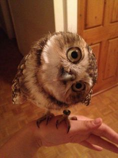 Cutest owl ever!
