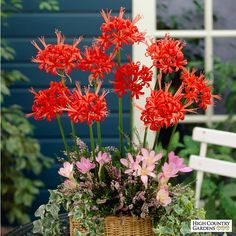 Nerine Lilies, also known as Guernsey Lilies, are easy to grow. These exotic… Bulb Flowers, Red Flowers, Colorful Flowers, Beautiful Flowers, Planting Bulbs, Planting Flowers, Summer Blooming Flowers, Red Spider Lily, High Country Gardens