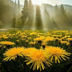 """Dandelion field... Strange how another italian name of the tarassaco flower is """"dente di leone"""" that sounds really similar to dandelion. •CC•"""