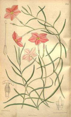 5191 Mandevilla tenuifolia (J.C.Mikan) Woodson var. tenuifolia [as Dipladenia pastorum (Mart. ex Stadelm.) A. DC. var. tenuifolia] / Curtis's Botanical Magazine, vol. 126 [ser. 3, vol. 56]: t. 7725 (1900) [M. Smith]