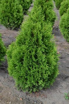 ARBORVITAE HOLMSTRUP (Thuja occidentalis 'Holmstrup')  Height: 5'-6', Width: 2'-3'.  Full sun to part shade.  A slow growing dwarf pyramidal form.  Excellent for small spaces or where limited height is desired.  Best in well drained acid soils, but adaptable and capable of growing in most conditions except very wet soils.  Growing zones 3 to 7.