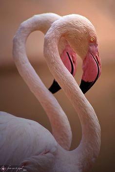 Flamingos - We saw hundreds of Greater & Lesser Flamingos (Early March 2015) at the Makadikadi & Sua Salt Pans in Nata, Botswana.  Elegant Beauty!