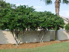 Ligustrum Japonicum - privet for screens, hedges, Zone 7-10