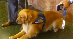 San Francisco Gets a Courthouse Dog to Comfort Witnesses | Dogster
