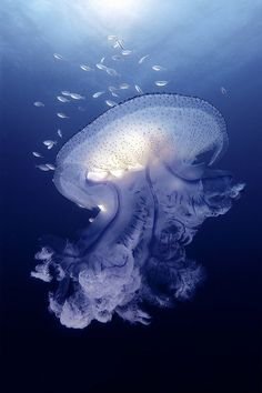 massive jellyfish