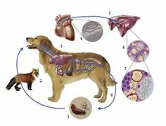 Lungworm in dogs - an increasing threat