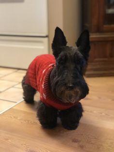 Beautiful Bella Scottie Dogs, Animal Antics, Scottish Terriers, Schnauzer, Heaven, Posters, Puppies, Pets, Animals