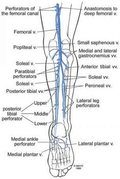 Anatomy Of The Lower Extremity Veins - Varicose Veins Leg Vein Anatomy, Deep Fascia, Subcutaneous Tissue, Superficial, Arteries And Veins, Vascular Disease, Thigh Muscles