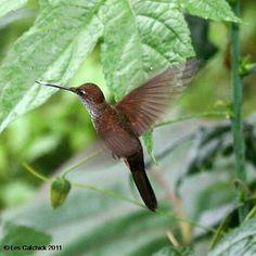 Hummingbird (Bronzy inca) | Flickr: Intercambio de fotos