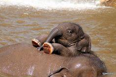 Baby Elephant Ride by shawzinhio Elephants Photos, Save The Elephants, Elephant Ride, Elephant Art, Cute Baby Animals, Animals And Pets, Beautiful Creatures, Animals Beautiful, Baby Elefante