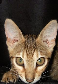 Serengeti Cat - This breed was first developed by crossing Bengal and Oriental Shorthair cats.