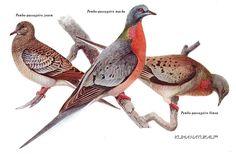 POMBO-PASSAGEIRO (Ectopistes migratorius) | Klima Naturali™