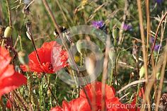 Red poppies and bumblebee