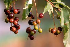 fruta del capulin