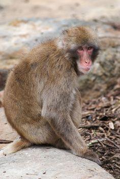 MACACO - Macaco japonés- Macaque_ds