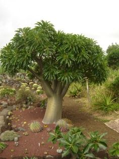 Amazing Unusual Plants To Grow In Your Garden Unusual Plants, Rare Plants, Exotic Plants, Old Trees, Small Trees, Cacti And Succulents, Cactus Plants, Rock Garden Plants, Baobab Tree