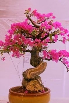 Wish you all a great success and a Wonderful Monday nd Have a wonderful week ahead. All Dear Friends Bonsais are harmony in nature, nd They are truly magnificent .. These are the reasons I so love the Bonsai Beautiful Bonsai Tree of bougainvillea Google+