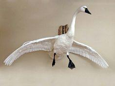 Tundra Swan mount, flying in