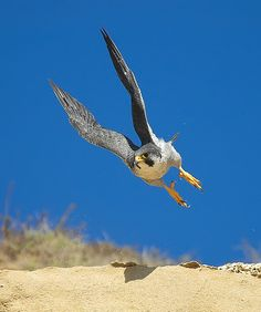 peregrine falcon    (photo by sharpeyesonline)