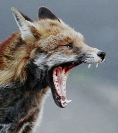 urban fox close up, Bristol Ian Wade by Disorganised Photographer - Ian Wade, via Flickr