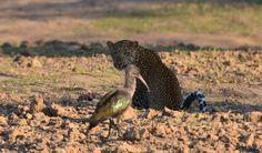 "Leopard and Hadeda in South Luwangwa, Zambia. ""Who's watching who?"""