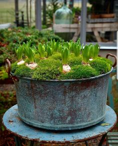 Hyacinter i min gamla kopparbalja,  i år igen.....  ________________________________________________ @trip2garden #hyacint #trädgård #garden #have #hage #advent #jul #håkesgård #adventsinspiration #mossa #florist #blomster