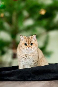 Myata, cats, bri cats, british shorthair, ny 25, british golden cat, golden ticked cat, golden shaded cat