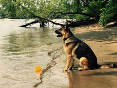 We have always known that the best pups are normally the german shepherds 🐕 with the most reliable pet owners! Beautiful Dogs, Animals Beautiful, Cute Animals, German Shepherd Puppies, German Shepherds, Most Popular Dog Breeds, Schaefer, Photos Du, Belle Photo