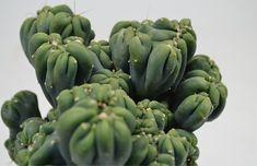 "3.5"" Cereus forbeseii montrose 'Ming Thing' Wholesale Succulents, Dish Garden, Bloom"