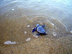 """the """"moon"""" to guide the baby turtles to the ocean"""