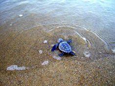 Baby Sea Turtles | baby-hatchling-sea-turtle