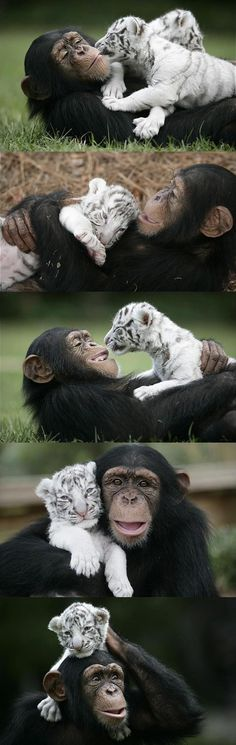 chimp and baby tiger. its a freaking chimp and a baby tiger! by Sofia Jimenez Cute Creatures, Beautiful Creatures, Animals Beautiful, Unusual Animals, Beautiful Cats, Simply Beautiful, Cute Baby Animals, Animals And Pets, Funny Animals