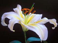 Lily Flowers Closeup wallpaper