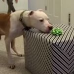After being diagnosis with hemangiosarcoma, Wallace was only given from 2 weeks to 3 months to live without chemo, but little did the cancer and vet know just how strong Wallace was. In this fantastic video he\\\'s seen celebrating his 11th birthday in style, 7 months post diagnosis and chemo ...