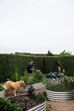 A rural Australian garden featuring mostly deciduous trees such as Chinese elms and plane trees along with pear and tulip varieties. To create structure, ornamental shrubs including viburnum, abelia, rhaphiolepis and may bushes have been used.