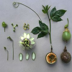 Flowers are my weakness and I'm so thrilled that Robbie Honey finds them fascinating as well! This brilliant British floris. Passion Fruit Plant, Passion Fruit Flower, Clay Flowers, Sugar Flowers, Paper Flowers, Flower Structure, Parts Of A Flower, Fruit Plants, Botanical Drawings