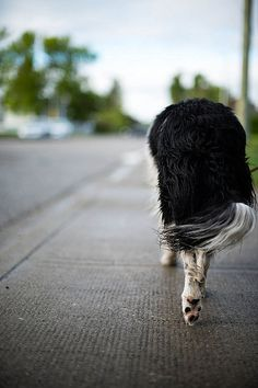 Sometimes you just need to walk away from it all. Border Collie | via Tumblr
