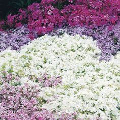 Creeping Phlox is a spring blooming hardy perennial ground cover, deer resistant plant. For the front bed and back garden. Ground Cover Flowers, Ground Cover Plants, Small Backyard Landscaping, Landscaping With Rocks, Backyard Patio, Hillside Landscaping, Country Landscaping, Backyard Ideas, Gardening