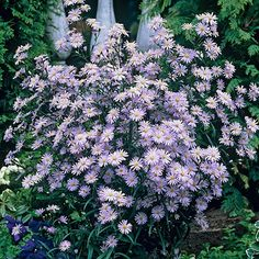 front yard - Aster Wood's Blue