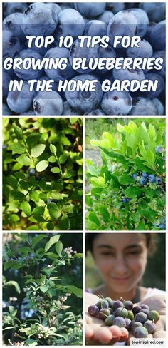 This summer enjoy the taste of delicious, home grown blueberries directly form your backyard. They are the biggest nutritional powerhouses that you can eat comes in a very small package. Blueberries are filled with more cancer-fighting, anti-aging, eyesight-saving and disease-fighting antioxidants than foods like spinach and salmon. They have been shown to reduce the effects of glaucoma and improve memory according to reports by the USDA. It is obvious that blueberries are a true superfood…