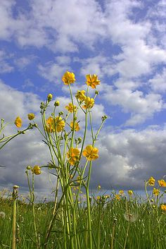 Buttercups, Spring meadow